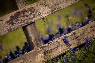 Bluebonnet Country Fence - Mabry Campbell