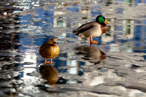 Ducks On Ice - Mabry Campbell