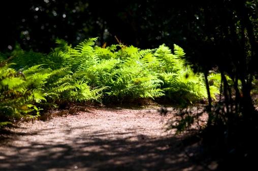 Ferns on Path - Mabry Campbell