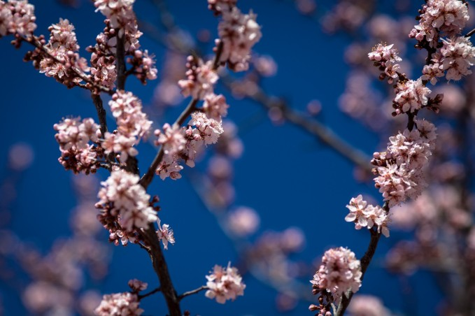 Pink Blossoms - Mabry Campbell
