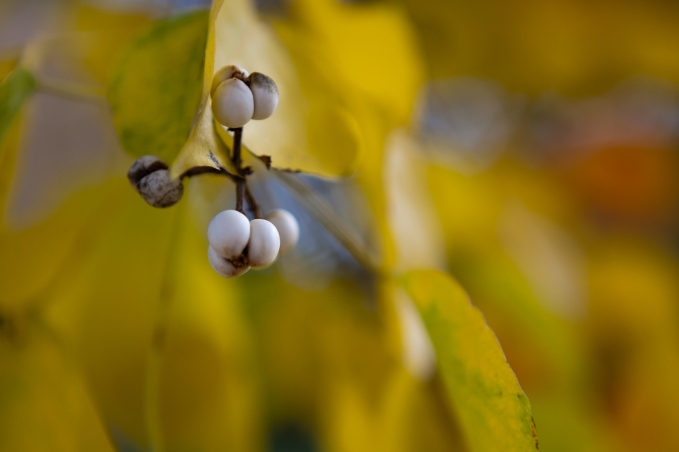 White Berries on Yellow - Mabry Campbell