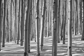 White Aspens II - Fine Art Photographer - Houston - Mabry Campbell