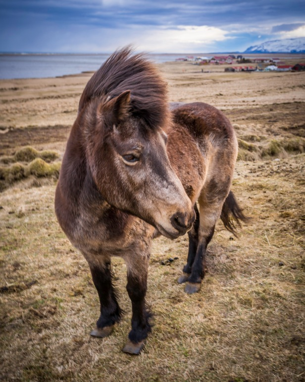 Icelandic-Horse-In-the-Wild-Mabry-Campbell