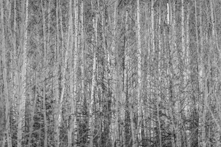 Wall-of-Trees-Mabry-Campbell
