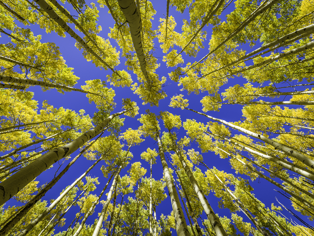 Amazing-Aspen-Trees-In-Fall---Santa Fe,-New-Mexico-Mabry-Campbell
