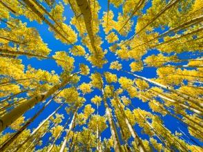 Amazing-Aspen-Trees-In-Fall---Santa Fe,-New-Mexico-Mabry-Campbell