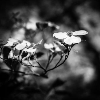 Dogwood-Flowers-Mabry-Campbell