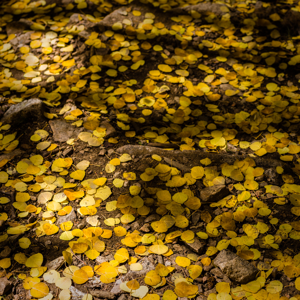 Aspen Forest Floor No. 13 - Tessa Trail