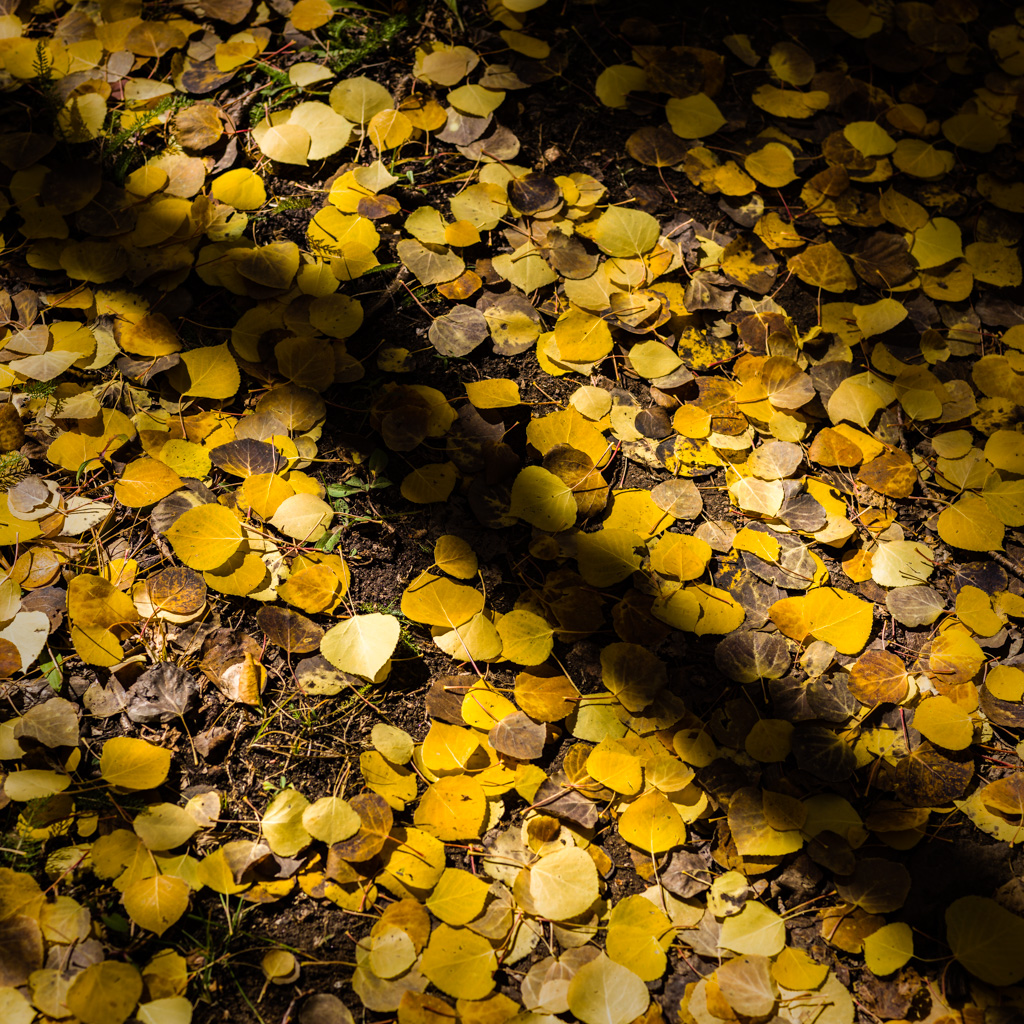 Aspen Forest Floor No. 14 - Tessa Trail