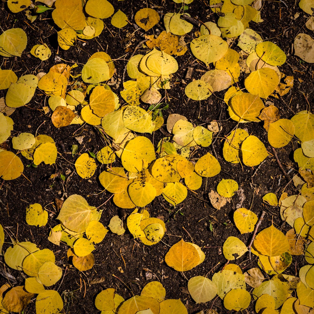 Aspen Forest Floor No. 15 - Tessa Trail
