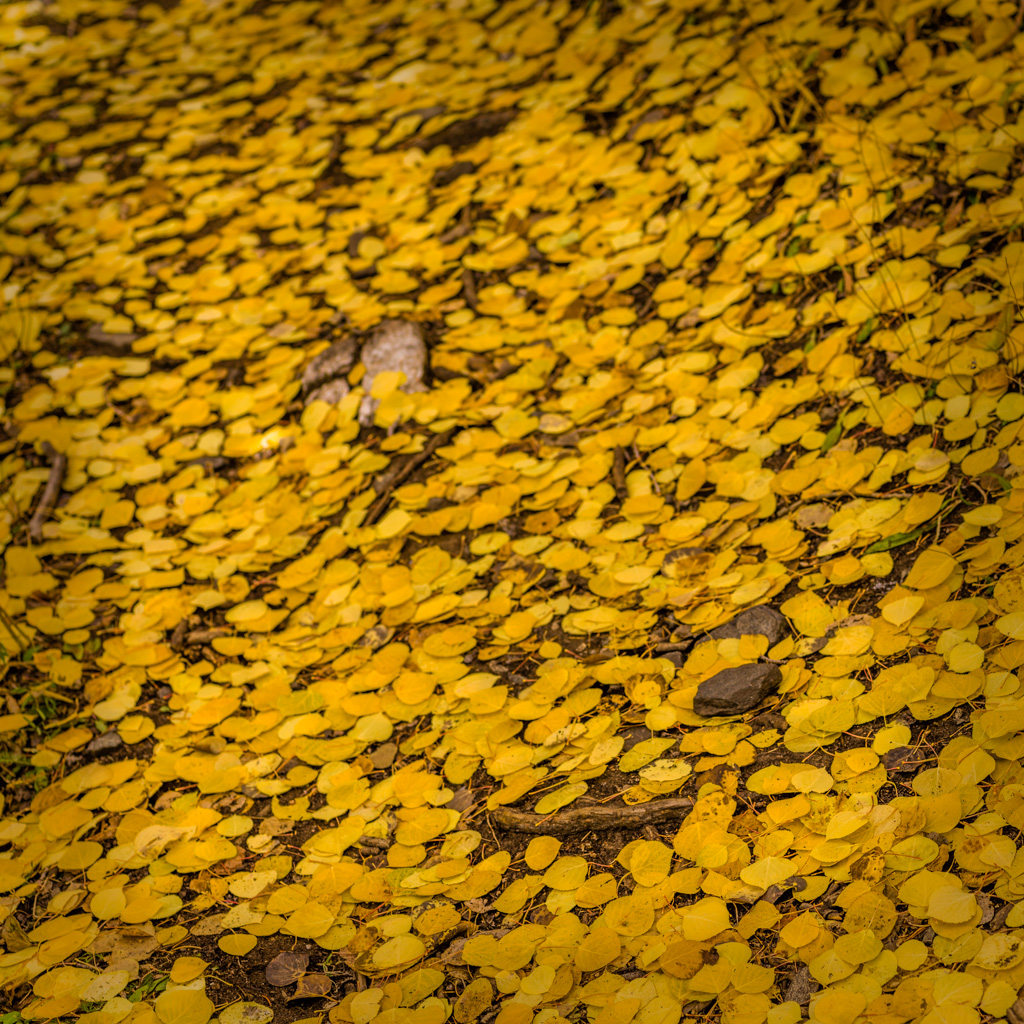 Aspen Forest Floor No. 2 - Tessa Trail