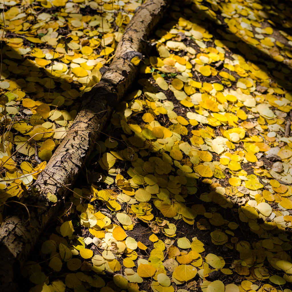 Aspen Forest Floor No. 8 - Tessa Trail