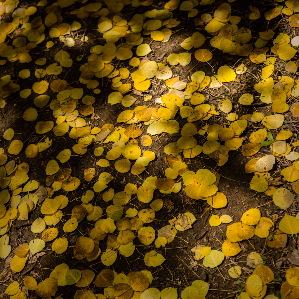 Aspen Forest Floor No. 9 - Tessa Trail