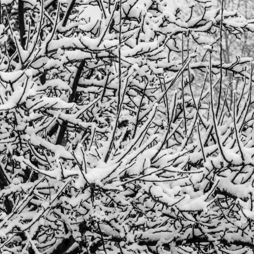 Snowy-Tree-Mabry-Campbell