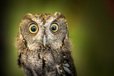 Eastern-Screech-Owl-Mabry-Campbell