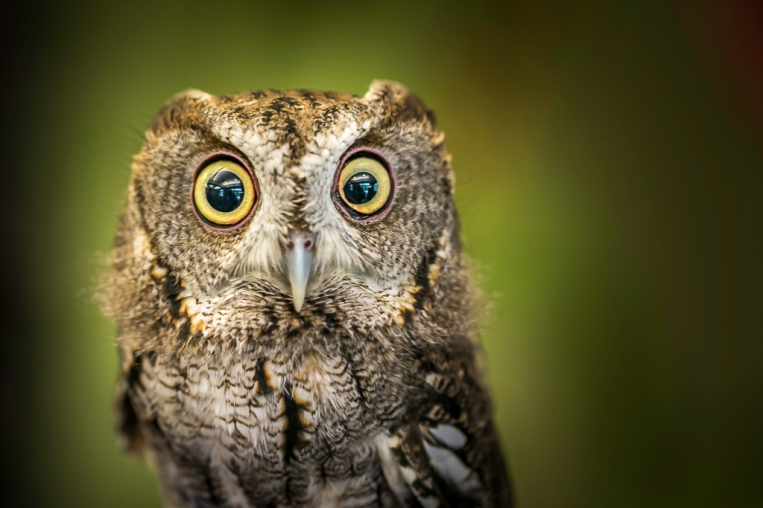 Eastern-Screech-Owl-Mabry-Campbell