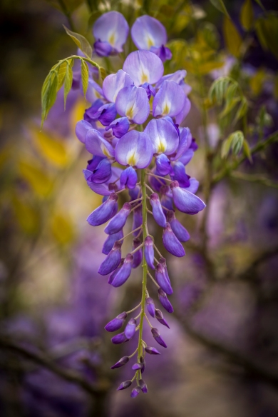 Wisteria-at-Bayou-Bend-Collection-Mabry-Campbell
