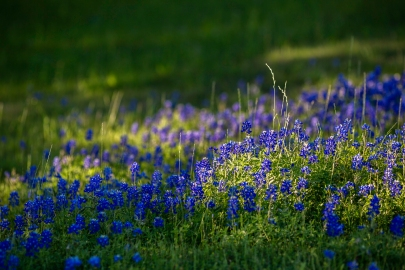 Bluebonnets-In-Light-No.-1-Mabry-Campbell