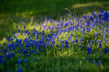 Bluebonnets-In-Light-No.-2-Mabry-Campbell