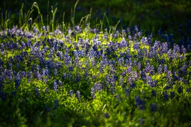 Bluebonnets-In-Light-No.-3-Mabry-Campbell