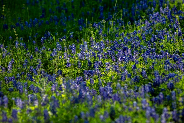 Bluebonnets-In-Light-No.-4-Mabry-Campbell