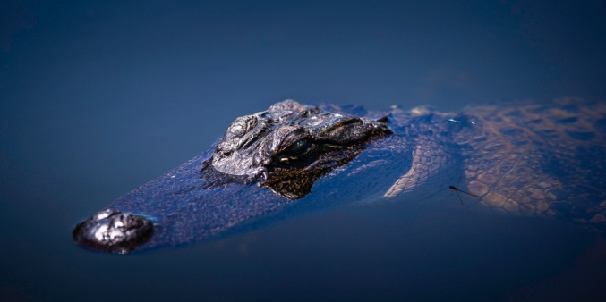 American-Alligator-Mabry-Campbell